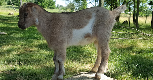 One Cute Mini-LaMancha Buck