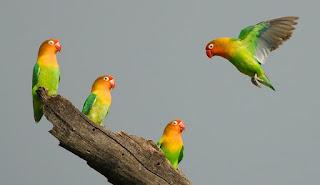 Burung Lovebird - Perhatikan Burung Lovebird anda Untuk Burung Lovebird yang Sehat dan Berumur Panjang - Penangkaran Burung Lovebird