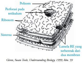 Struktur retikulum endoplasma kasar