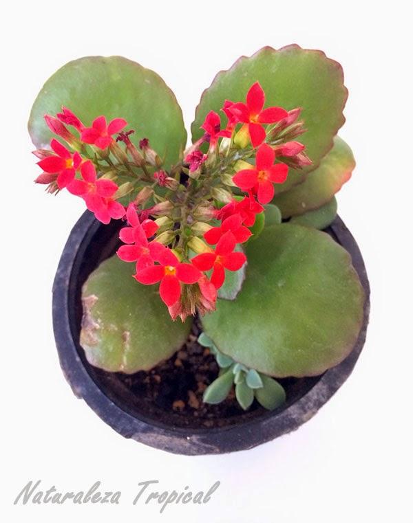 Planta suculenta conocida como siempreviva