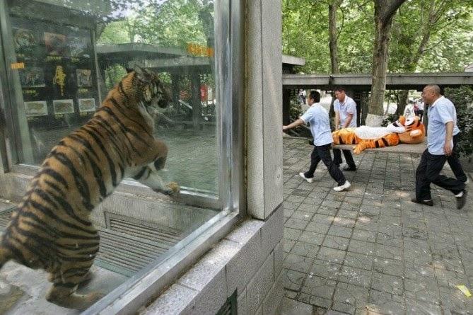 Un tigre observando a una botarga de tigre