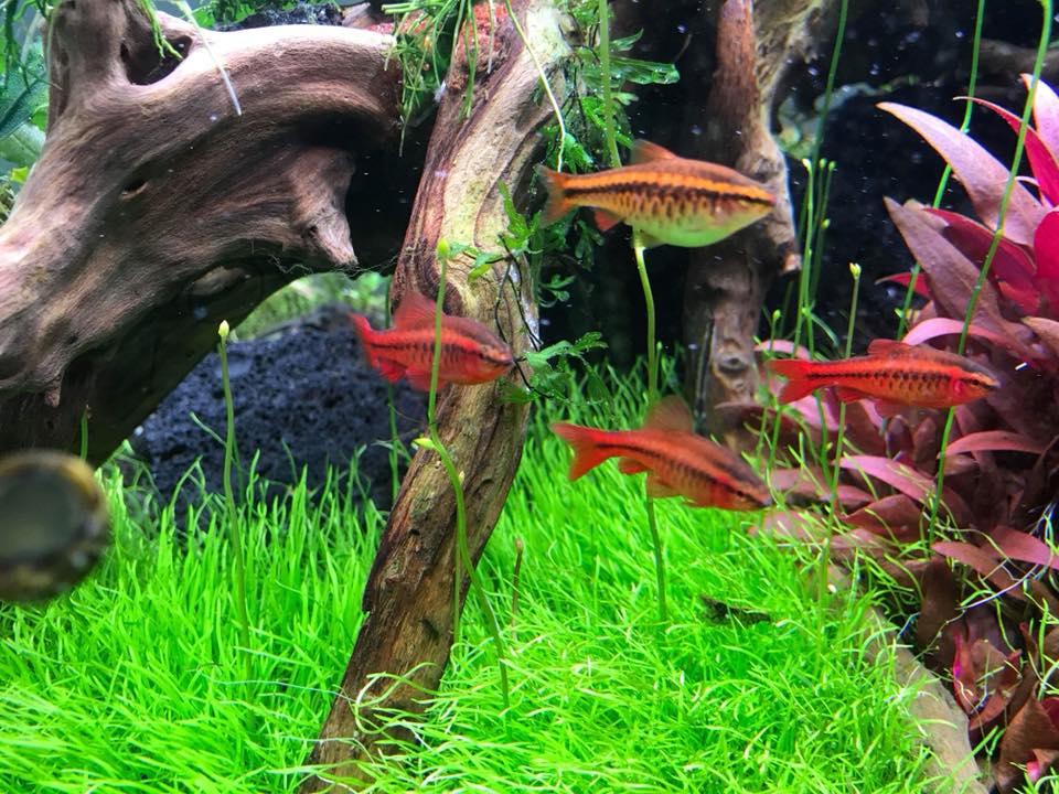 Cây cỏ giấy trong hồ thủy sinh của bạn Tiến Lê