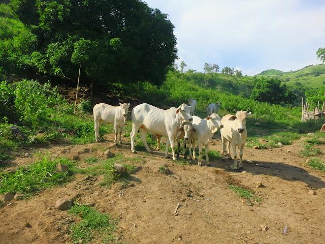 Livestock of Capistrano Farm in Olongapo City
