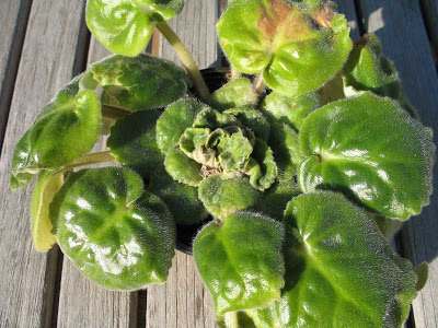 Wiese Acres Growing African Violets Part 6 Pests And