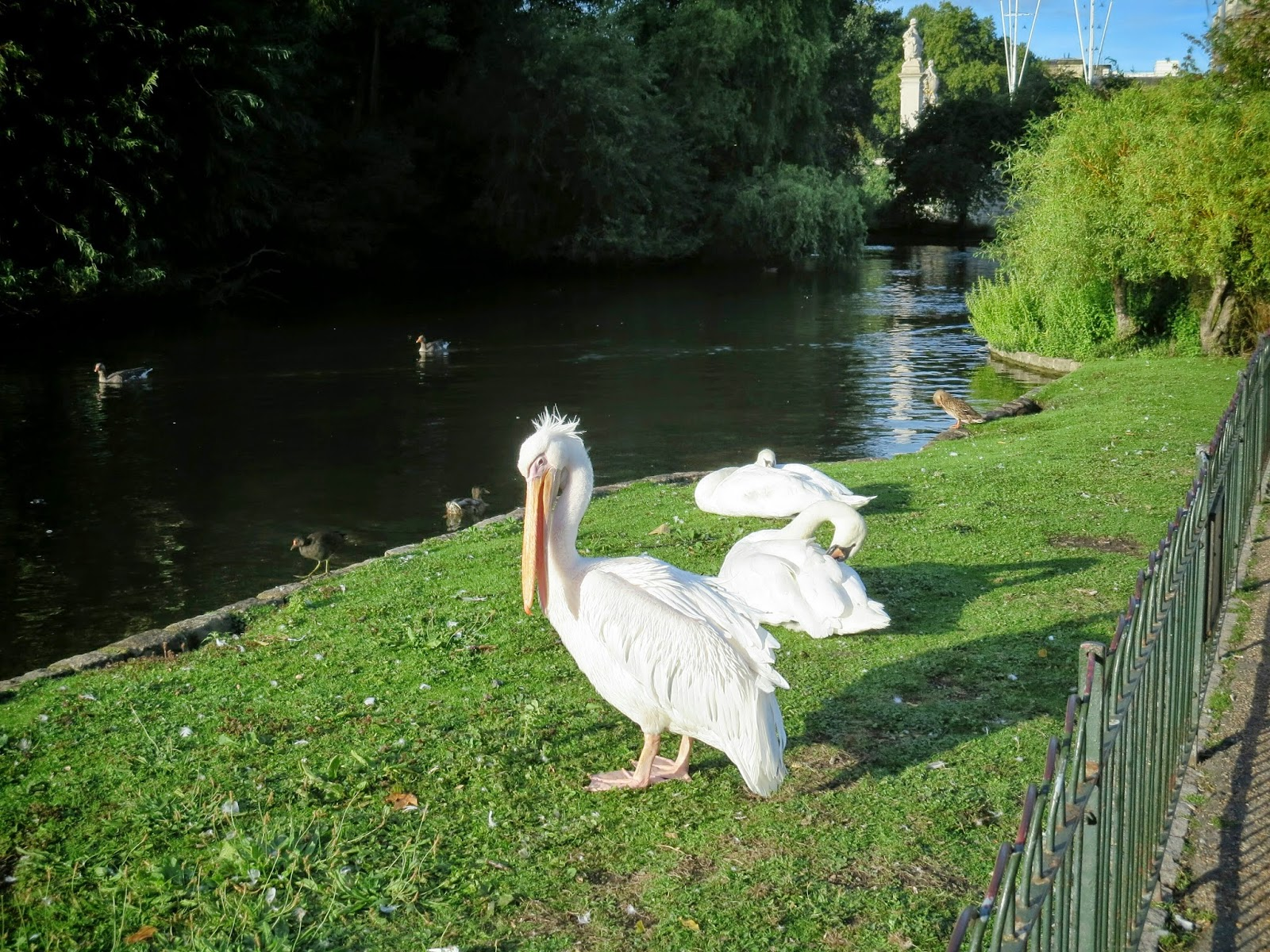 Pictures of St. James Park Pelicans