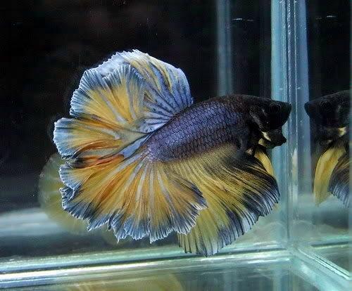 Ikan Cupang Kontes