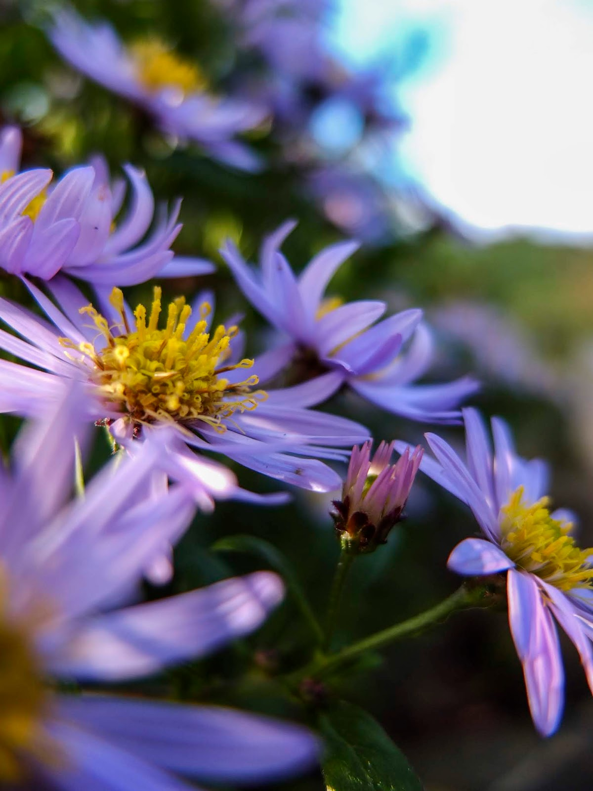 A macro image of Aster flowers in dappled sunlight.