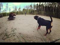 Rottweiler bear