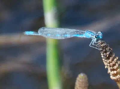 Boreal Bluet (Enallagma aspersum
