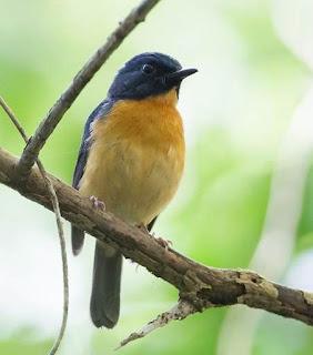 Suara Burung Sikatan Bakau Sulawesi