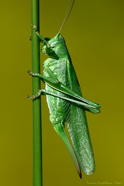Saltamontes verde (Tettigonia viridissima)