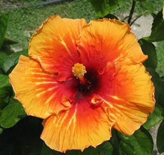 Malaysia's national flower the hibiscus or bunga raya