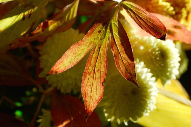 pioenblad in de herfst