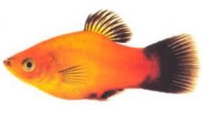 Ikan Platy Jantan