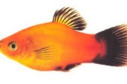 Cara Membedakan Ikan Platy Jantan dan Betina