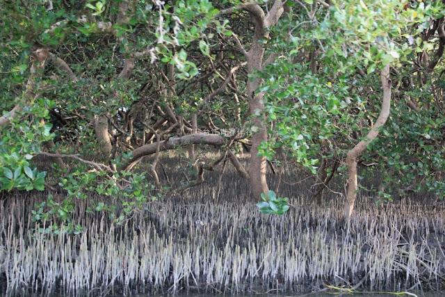 紅樹林的氣根,不僅是特有的生活方式,也鞏固了海岸線。