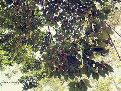 Hojas y frutos de Almez (Celtis australis)