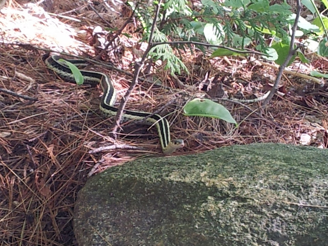 SSSS- common garter snake - at a cottage on a Gatineau lake