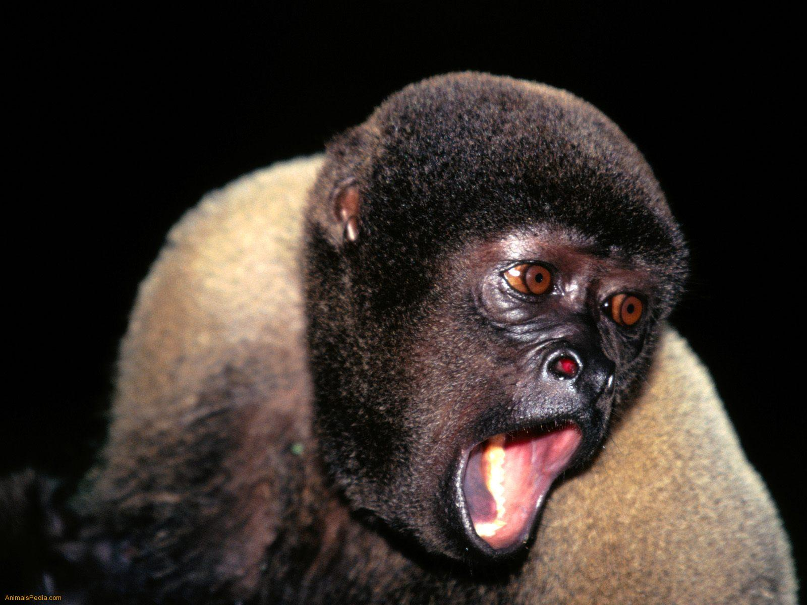 Woolly Monkey  Animal Wildlife