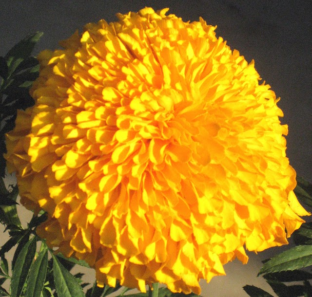 Marigold Flowers in Autumn