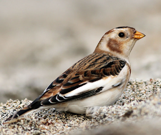 Snow bunting song mp3