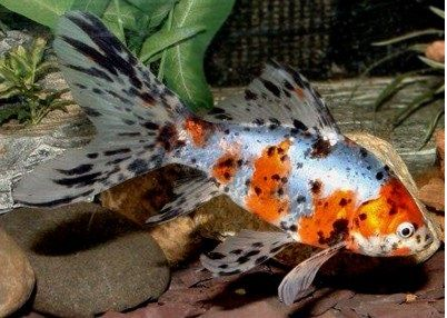 Ikan Mas Koki Shubunkin