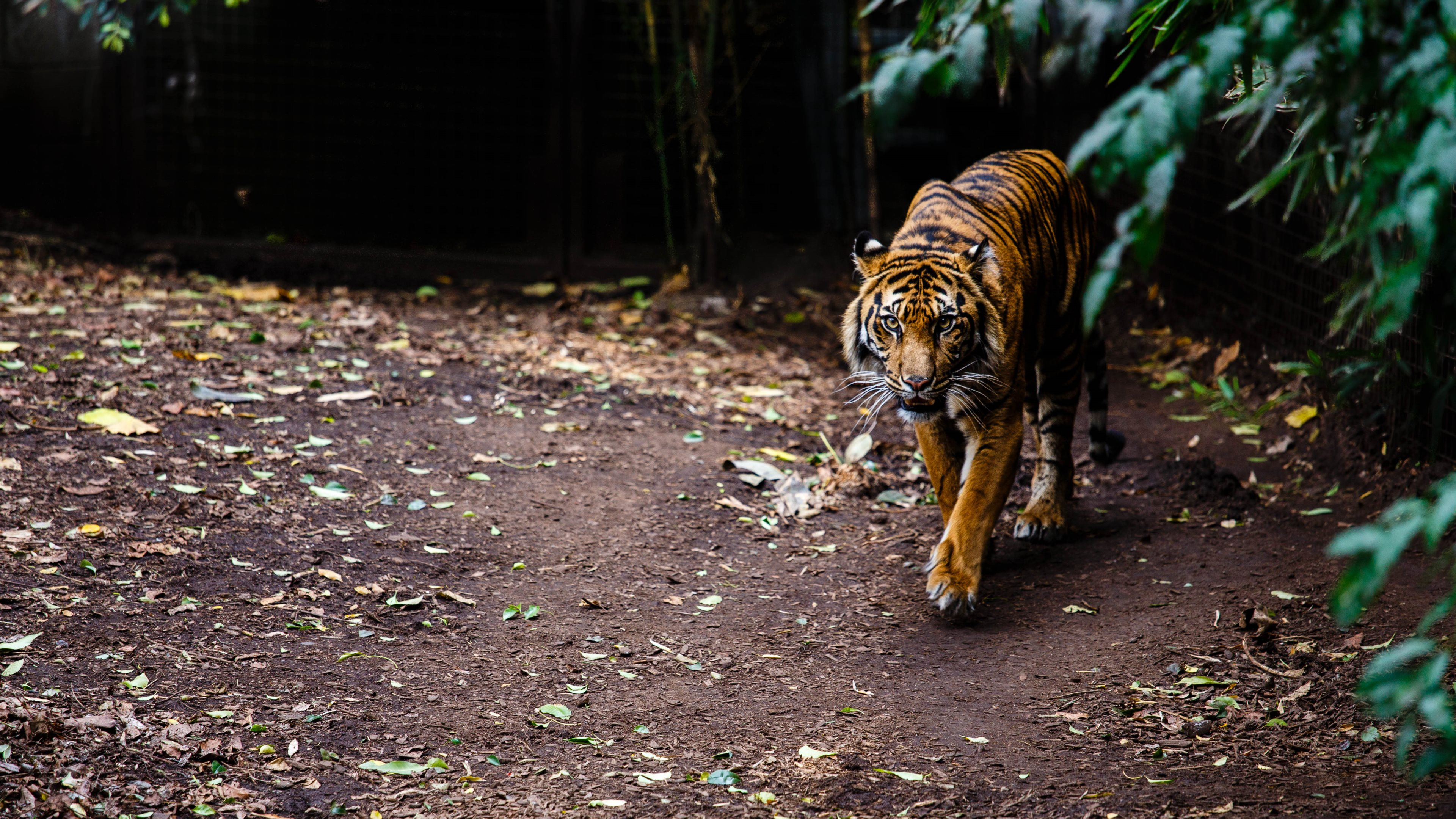 ultra high definition wallpapers tigers - photo #13