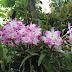Lan Hoàng thảo Đùi gà (Dendrobium nobile)