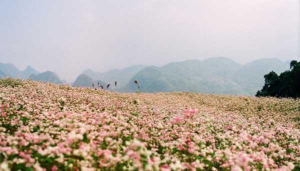 Ma Le la noi trong nhieu hoa tam giac mach nhat o Ha Giang