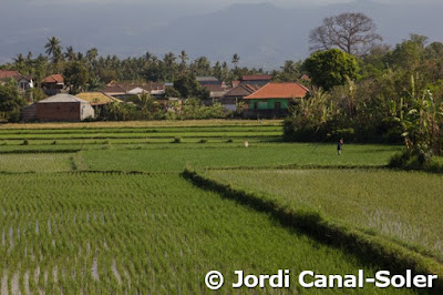 Campos de arroz cerca de Ubud