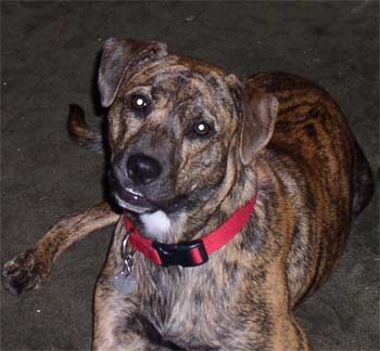 Dog Pictures Online: Treeing Tennessee Brindle Dog Breed Photos