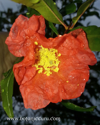 Punica granatum, Pomegranate flower
