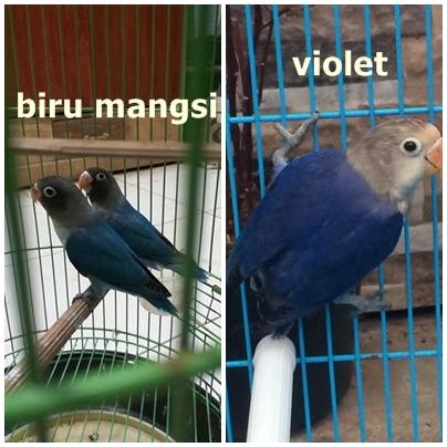 perbedaan lovebird biru mangsi dan violet