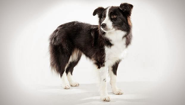 Cute Border Collie Guide Dog