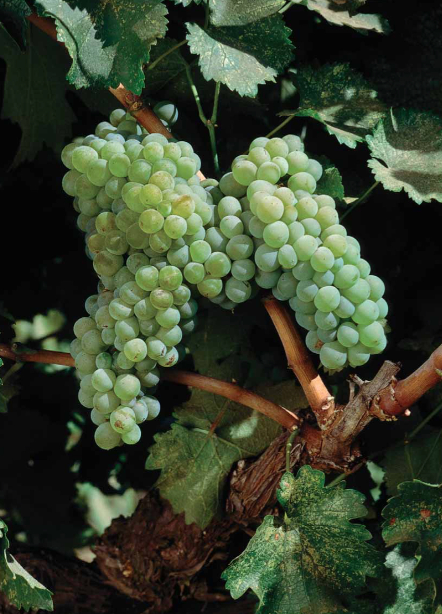 Enoviti an ode to chenin blanc for Chenin blanc