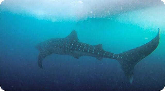 Whale+Shark+Gorontalo