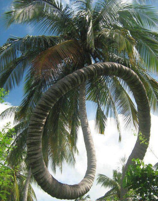 Gelengg@ng Melenggang: Pindah pokok Kelapa