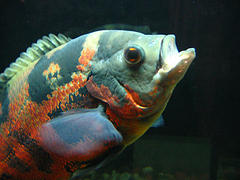 What Fish Food Do Oscars Eat