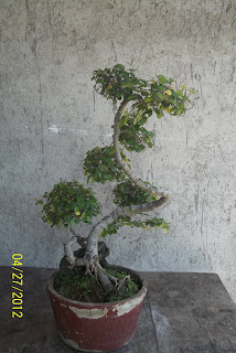 bonsai serut 3
