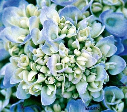 Bunga Hydrangea