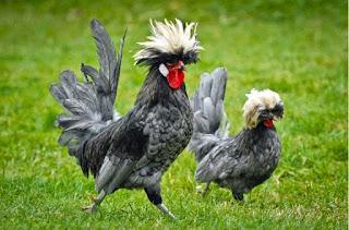 Ternak-Ayam-Hias