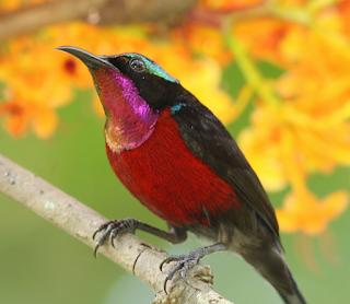 Suara burung Kolibri tasik gacor mp3