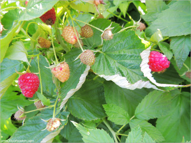 Applecrest Farm: Huertos de Frambuesas