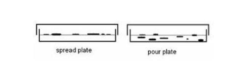 Pertumbuhan bakteri pada metode Spread plate dan Pour plate