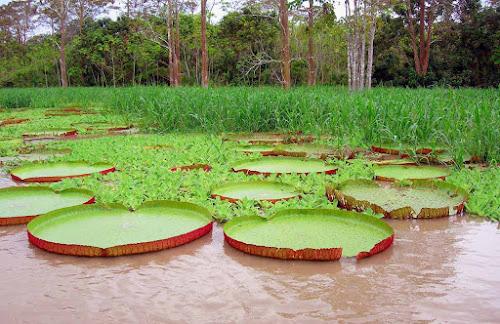 Maior planta aquática do mundo