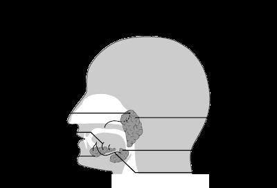 glandes salivaires anatomie infirmier