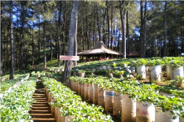 Kebun Strawberry petik sendiri