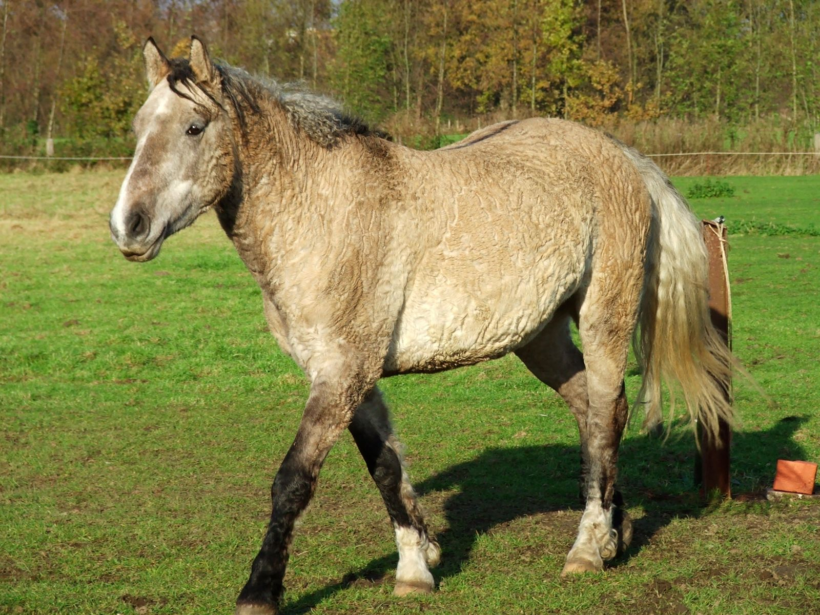 Curly Horse