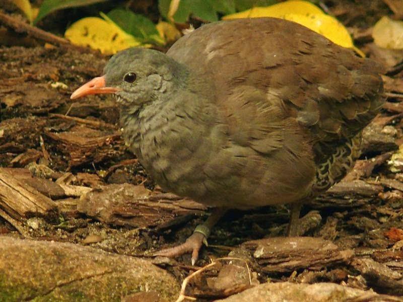 argentinian tinamou birds