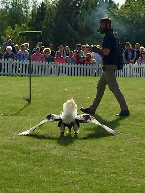 Sea eagle birds of prey demonstration at the Royal Highland Show, Edinburgh, Scotland